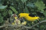 Thumbnail Golden Oriole (Oriolus oriolus), male taking ball of droppings from chick, Hortobagy Puszta, Hungary