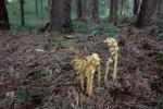 Thumbnail Dutchman's Pipe, Yellow Bird's-nest (Monotropa hypopitys), North Tyrol, Austria, Europe