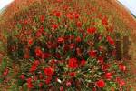 Thumbnail fireld with poppies , Germany
