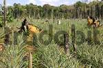 Thumbnail Pineapple plantation on cleared forest areas in the Amazon rainforest Brazil