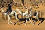 Thumbnail Tuareg nomad with a mehari white dromedary and Tuareg saddle Acacous Mountains Libya