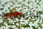 Thumbnail Red-headed cardinal beetle Pyrochroa serraticornis