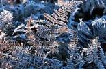 Thumbnail Hoarfrost covered Fern, North Rhine-Westphalia, Germany