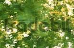 Thumbnail Beech foliage / Fagus sylvaticus
