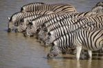 Thumbnail Herd of Plains Zebras (Equus burchelli) at the waterhole of Okaukuejo, Etosha National Park, Namibia, Africa
