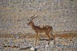 Thumbnail Impala (Aepyceros melampus), Etosha National Park, Namibia, Africa