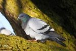 Thumbnail Domestic pigeon (Columba livia forma domestica)
