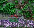 Thumbnail Tulips and Pansies in front of stone wall / Pansy