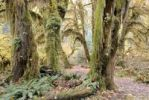 Thumbnail Pathway through giant trees overgrown with moss, ferns and lichens, Hoh Rain Forest, Olympic Peninsula, Washington, USA