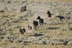 Thumbnail Mustang Horse (Equus caballus), herd running, Pryor Mountain Wild Horse Range, Montana, USA