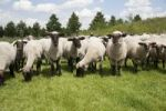 Thumbnail Herd of sheep in a meadow
