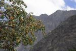 Thumbnail Hundar oasis with typical apricot trees (Prunus armeniaca), Nubra Valley, Ladakh, Jammu and Kashmir, North India, India, Asia