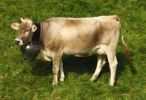 Thumbnail Brown Swiss, dairy cow wearing a bell around its neck, Switzerland, Europe