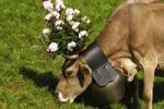 Thumbnail Brown Swiss dairy cow wearing a large bell around its neck, decorated for the ceremonial driving down of cattle from the mountain pastures into the valley, Switzerland, Europe