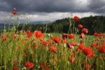 Thumbnail Corn Poppy, Field Poppy, Flanders Poppy or Red Poppy (Papaver rhoeas), Fribourg, Switzerland, Europe