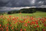Thumbnail Corn Poppy, Field Poppy, Flanders Poppy or Red Poppy (Papaver rhoeas), Fribourg, Switzerland, Europe