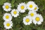 Thumbnail Common Daisy (Bellis perennis)