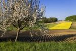 Thumbnail Blossoming apple tree, fields of Rapeseed, Potatoes and vegetables, Buechlen, Fribourg, Switzerland, Europe