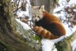 Thumbnail Small Red Panda (Ailurus fulgens) sitting on a tree