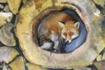 Thumbnail Red Fox (Vulpes vulpes)
