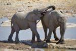 Thumbnail African Bush Elephants (Loxodonta africana) at the Moringa Waterhole in Halali, Etosha National Park, Namibia, Africa