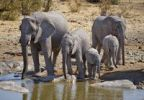 Thumbnail African Bush Elephants (Loxodonta africana), family drinking at the Moringa Waterhole in Halali, Etosha National Park, Namibia, Africa