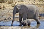 Thumbnail African Bush Elephant (Loxodonta africana) with cub at the Moringa Waterhole in Halali, Etosha National Park, Namibia, Africa