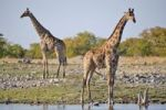Thumbnail Two Giraffes (Giraffa camelopardalis) at Goas Waterhole, Etosha National Park, Namibia, Africa