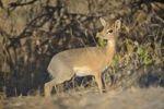 Thumbnail Kirk's Dik-dik (Madoqua kirkii) on Dik-Dik-Drive, Etosha National Park, Namibia, Africa