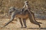 Thumbnail Chacma Baboon or Cape Baboon (Papio ursinus), with young, Mahango Game Reserve, Namibia, Africa