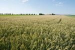 Thumbnail Wheat field, Solling-Vogler Nature Park, Weserbergland, Lower Saxony, Germany, Europe