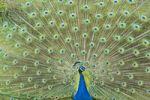 Thumbnail Indian Peafowl (Pavo cristatus), Jardim Botanico, botanical garden, Funchal, Madeira, Portugal