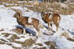 Thumbnail Mouflons (Ovis orientalis musimon), Hohe Wand, Lower Austria