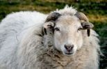 Thumbnail Sheep, South Palatinate, Rhineland-Palatinate, Germany