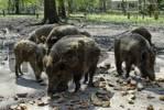 Thumbnail Gruenwald Gruenwald near Munich Bavaria Germany Sauschuett Sauschuett nature trail feeding of the wild boars wild pigs