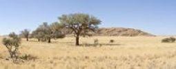 Thumbnail Acacias on the way to Groot Tinkas in Namib-Naukluft National Park, Namibia, Africa