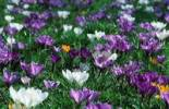 Thumbnail Crocus meadow, Baden-Wuerttemberg, Germany