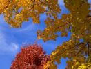 Thumbnail Autumn leaves against blue sky, Quebec, Canada