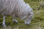 Thumbnail Sheep in dunes, Nationalpark Koenigshafen, Westellenbogen, Sylt Island, North Frisia, Schleswig-Holstein, Germany, Europe