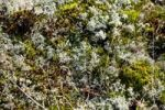Thumbnail Moss, Nationalpark Koenigshafen, Westellenbogen, Sylt Island, North Frisia, Schleswig-Holstein, Germany, Europe
