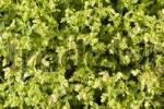 Thumbnail Oregano in the herb garden