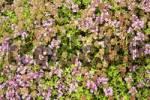 Thumbnail Thymus praecox