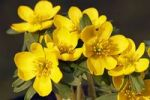 Thumbnail Small Winter aconite (Eranthis hyemalis), Winter aconites, blossoms, close-up