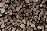 Thumbnail Pile of wood, Common Silver Fir, Schleswig-Holstein, Germany / Abies alba