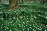 Thumbnail Wood Anemones, Schleswig-Holstein, Germany / Anemone nemorosa