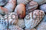 Thumbnail Brad-ripped Cardita Clam shells, Sanibel Island, Florida, USA / Carditamera floridana