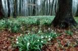 Thumbnail Spring Snowflake, Thuringia, Germany / Leucojum vernum