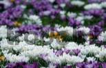 Thumbnail Crocusses, Germany / Crocus vernus