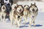 Thumbnail Front view of siberian huskys sled dogs at a race in winter