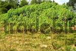 Thumbnail Cultivation of cassava or manioc Manihot esculenta